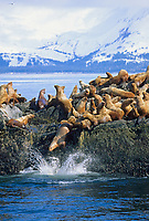 Steller's Sea Lions hauled out on rock, snow covered Montague Island in background, Prince William Sound, Alaska