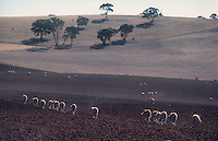 Sheep during Drought in South Australia