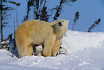 Polar bear family, Churchill, Manitoba, Canada