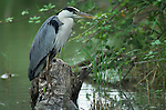 Grey Heron, Ardea cinerea, by river bank, Provence, Southern France, Arles, Marseille Provence, Ornithology, Parc Ornithologique de Pont de Gau.France....