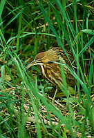 American bittern, Botaurus lentiginosus, hiding in weeds. Florida