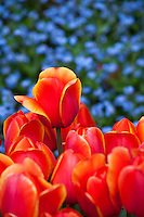 Red tulips flowering at Filoli with Baby Blue Eyes
