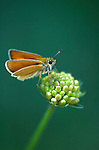 Small Skipper Butterfly, Thymelicus sylvestris, on flower seed head, Provence.France....