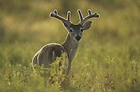 White-tailed Deer (Odocoileus virginianus), buck in velvet backlit, Starr County, Rio Grande Valley, Texas, USA