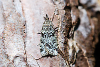 Norway, Stavanger. Noctuidae or owlet moth.