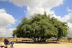 T-163 Jujube tree by Nahal Sorek