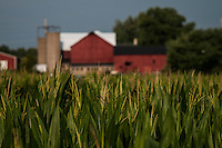 Corn begins to tassel on suburban farm.
