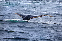 Tail of a humpback whale as it descends beneath the surface of the ocean in Chile.