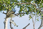 Captiva Island, Florida; an Osprey (Pandion haliaetus) bird spreads it's wings for balance while eating a fish on a branch in a tree, also known as Seahawk, Fish Hawk or Fish Eagle © Matthew Meier Photography, matthewmeierphoto.com All Rights Reserved