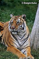MA40-017z  Bengal Tiger - Panthera tigris