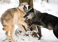 Aggression between members of a Timber Wolf pack (Canis lupus), Wolf Science Centre, Austria