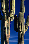 Saguaro cactus close-up with blue skies near Buckeye Arizona State USA