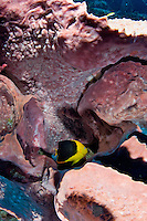 Rock beauty near a sponge<br />