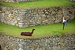 South America, Peru. Llama watching crazy tourist at Machu PIcchu, a UNESCO World Heritage Site.