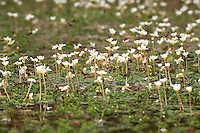 A group of about 100 bees comes to get water on common water-crowfoot flowers. On hot days when the wind dries the vegetation, foragers play water carriers and fly back and forth to hydrate thirsty workers.  .