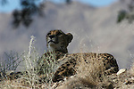 Cheetah resting at the Living Desert Reserve