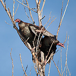 Wild Turkey's perch in trees in a suburban development border area in Eden Prairie, Minnesota