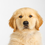 Judi  - Golden Retriever Puppies