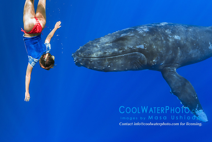 woman snorkeler encountering humpback whale, Megaptera novaeangliae, Hawaii, Pacific Ocean, model released