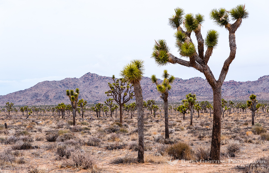 United States, California, Joshua Tree National Park. Joshua trees.