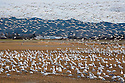 WA08097-00...WASHINGTON - Large flock of snow geese in a field on the Fir Island section of the Skagit Wildlife Area.