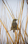 A seaside sparrow balances between stalks in a salt marsh.