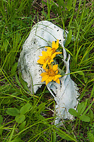 Wildflowers growing in a bear skull in iYellowstone National Park