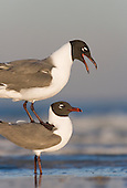 Laughing Gulls precopulatory stand EML, Fort DeSoto Park, St