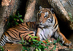 An IndoChinese tiger (Panthera tigris corbettiat) at rest in Luang Prabang, Laos.