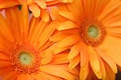 April 30, 2007; Los Angeles, CA - Orange Gerbera flowers..Photo Credit: Darrell Miho