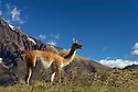 Guanaco, Patagonian Argentina