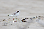 A snowy plover with leg bands stands along a flat stretch of beach