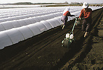 In early May,  farmers uses mechanical planters that plants carrot seeds between rolls of plastic covered bamboo poles covered with that protects their carrot field in Aomori Prefecture, on Northern Honshu, Japan. Most fields are prepared for the planting season by a workforce made up of women and men, who plant and cultivate their crop by using either traditional hand tools or modern tools. Photo by Jim Bryant ©2008, All Rights Reserved.