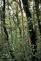 Lower montane rain forest in Kinabalu National Park, Malaysia, Borneo, Sabah.