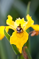 Bumble bee with pollen sacks gathering nectar from Yellow Flag Iris, Iris pseudacorus, in English garden, UK..