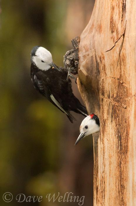 598000012 wild male and female white-headed woodpeckers picoides albolavartus at nest cavity washington