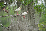 Columbia Ranch, Brazoria County, Damon, Texas; adult and juvenile White ibis (Eudocimus albus) birds sit on tree branches of a live oak tree with hanging spanish moss