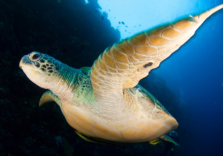 A large green turtle: Chelonia mydas, swims alongside a wall in Bunaken National Park, Sulawesi, Indonesia