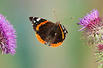 Red Admiral Butterfly, Vanessa atalanta, In flight, free flying, High Speed Photographic Technique.United Kingdom....