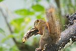 Red-tailed Squirrel, Sciurus granatensis, takes a banana from a bird feeder at San Jorge Eco-Lodge, Tandayapa Valley, Ecuador