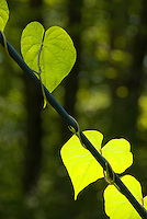 Backlit leaf vine with climbing tendrils, mixture of light and dark, nature