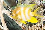 Paradise House Reef, Taveuni, Fiji; a solitary Golden Damsel (Amblyglyphidodon aureus) fish swims amongst hard corals on the reef