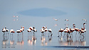 LESSER FLAMINGOS ON LAKE NATRON, TANZANIA.....FILENAME:CK-FLAMINGOS17....CLARE KENDALL..07971 477316