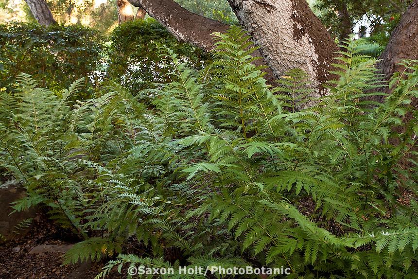 Woodwardia fimbriata Giant Chain Fern growing under oak tree in California native plant garden, Santa Barbara