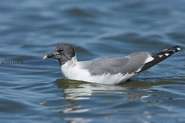 Sabine's Gull in adult breeding plumage swimming (Xema sabini), Willcox, Arizona, USA.