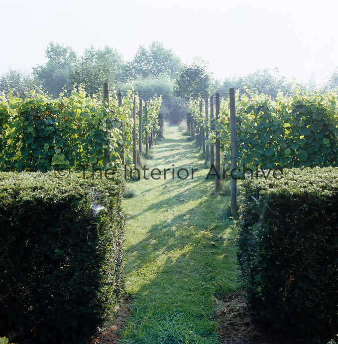 A row of vines in a vineyard