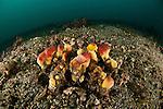 Sponge decorator crab (Hyastenus elatus)