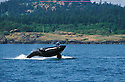 Orca whale breaching off west coast of San Juan Island, Washington.