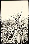 Marshland grass closeup at Norman J Levy Park and Preserve, in Merrick, Long Island, New York, USA, on July 19, 2011. Sepia with burn edge treatment