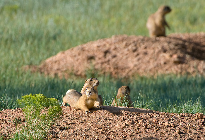 673030112 a  wild utah prairie dog cynomys parvidens stretches and rest near its burrows in bryce canyon national park utah united states